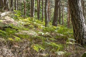 Wooded mountain slope with pines ferns and blurred areas photo