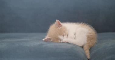 little fluffy cute kitten sleeping on the sofa video