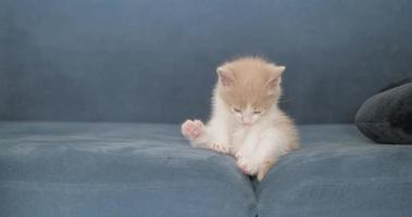 little kitten licks itself and washes on the couch and goes to bed video