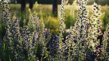 Blooming Blueweed in the wind video