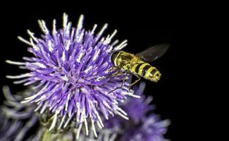 Hoverfly by a flower photo