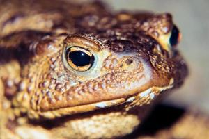 Common toad portrait photo