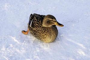 Mallard on ice photo