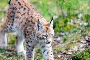 European young Lynx photo