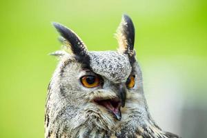 Eagle owl portrait photo