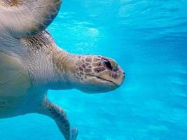Green sea turtle photo