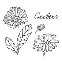 Gerbera flower Set of buds leaves stem and lettering Vector illustration in hand drawn style Realistic flower in monochrome