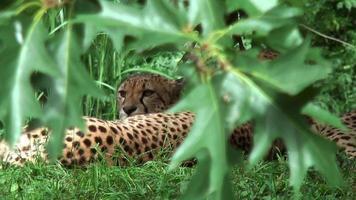 Cheetahs hiding behind leaves video