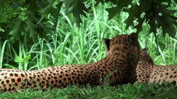Cheetahs that lie in the grass and looking around video
