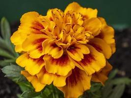 Primer plano de una flor de caléndula francesa Tagetes patula foto