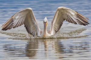 Pelícano dálmata en el lago Kerkini en el norte de Grecia foto