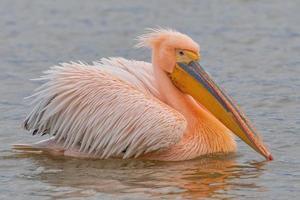Beautiful pink pelican birds  in Kerkini Lake in northern Greece photo