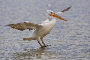 Dalmatian pelican in Kerkini Lake in northern Greece photo