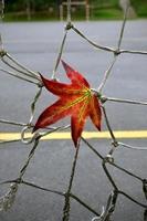 hoja de arce roja en la temporada de otoño foto