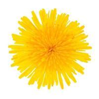 Flor amarilla de diente de león aislado sobre fondo blanco. foto
