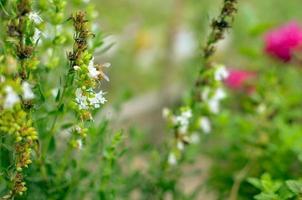 Thymus serpyllum blooms in the garden closeup photo