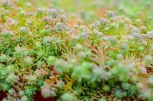 Sedm stonecrop español de cerca en un verano foto