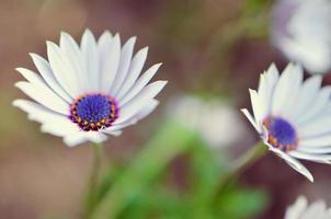 Planta de jardín de gazania en flor blanca y azul foto