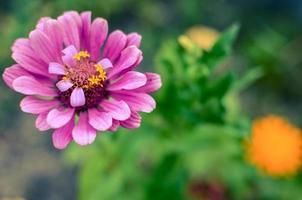 flor de zinnia en el jardín elegante capullo rosa de hermosa zinnia foto