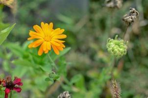 Caléndula caléndula officinalis flores de naranja en huerto foto
