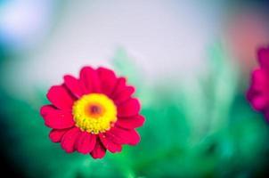 Planta de jardín de gazania rosa en flor foto