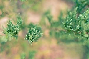 Enebro rama de árbol textura aguja verde fondo desenfocado primer plano foto