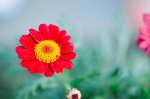 Planta de jardín de gazania roja en flor foto