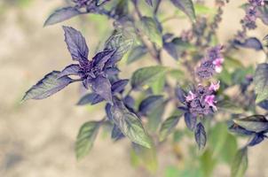 ypung hojas de albahaca púrpura y flores en primavera foto