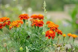Cerca de la hermosa flor de caléndula tagetes erecta mexicano azteca o caléndula africana en el jardín macro de caléndula en la cama de flores día soleado foto