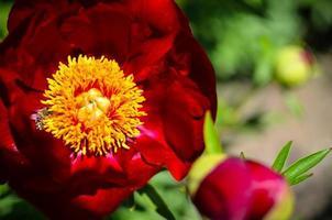 Peonía de árbol floreciendo en el jardín en primavera foto
