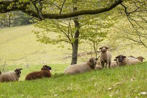 Young lamb stands between a flock of lying sheep and looks at the camera photo