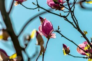 flor de magnolia de Jane foto