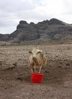 Brown cow contemplates drought while drinking from a red bucket on a desert ranch photo