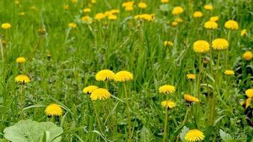 field of yellow dandelions in spring video