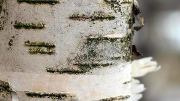 white birch bark close to camera in motion video