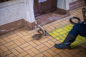 Manipulación de serpientes de demostración luchando con dos cobras, Bangkok, Tailandia foto