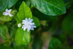 Close up of jasmine flowers in a garden photo