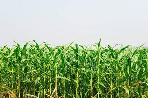 planta de maíz en el campo de maíz foto