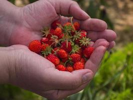 Women palms with ripe strawberries photo