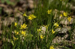 Las primeras flores amarillas crecen en la hierba. foto