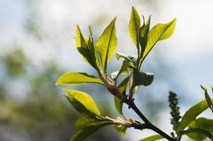 primeras hojas verdes frescas del árbol foto