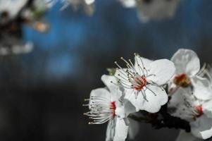 Cherry plum flowers with white petals photo