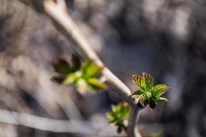 primeras hojas verdes en la rama del árbol foto