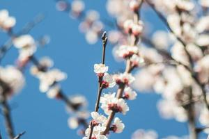 Apricot flowers with white and red petals photo