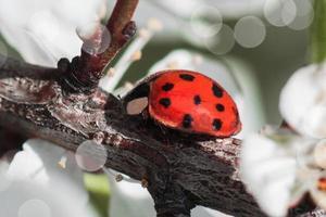Mariquita roja en macro en una rama de árbol foto