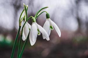 White snowdrops closeup with blurred background photo