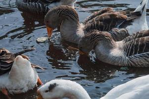 Wild geese flock eating in the river photo