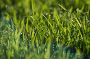 Fresh green grass close up with bokeh in spring photo
