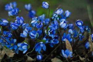 Primer plano de flores de hepática azul sobre fondo borroso foto