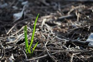 First green grass grow from ground photo